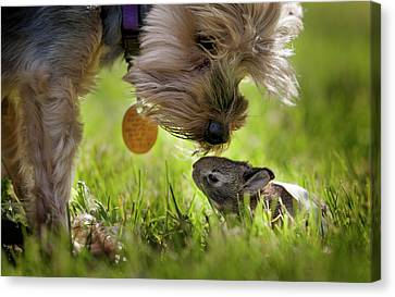 A Cute Yorkie Dog Sniffing A Little Canvas Print