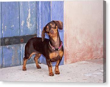 A Dachshund Puppy Standing Canvas Print by Zandria Muench Beraldo