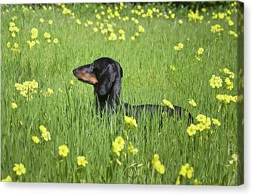 A Dachshund Standing In A Field Canvas Print by Zandria Muench Beraldo