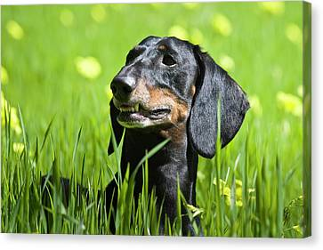 A Dachshund Standing In Field Canvas Print by Zandria Muench Beraldo