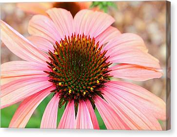 Canvas Print featuring the photograph A Daisy For You by Elizabeth Budd