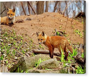 Fox Kit Canvas Print - A Day At The Den by Thomas Young