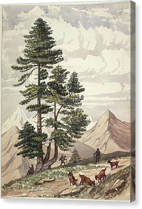 A Deodar Tree Canvas Print by British Library