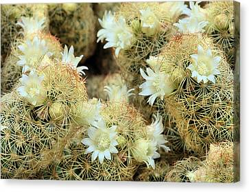 A Desert Floral Canvas Print by JC Findley