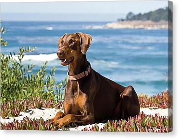 A Doberman Pinscher Lying On The White Canvas Print by Zandria Muench Beraldo