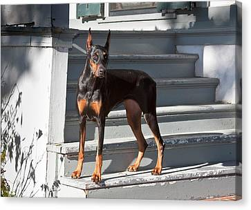 A Doberman Pinscher Standing On Stairs Canvas Print by Zandria Muench Beraldo