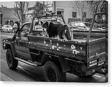 A Dog And His Ute Canvas Print by Paul Donohoe