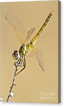 A Dragon Flies Canvas Print by Heiko Koehrer-Wagner