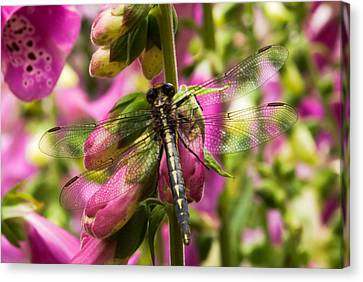 A Dragon Fly Resting In A Forest Of Foxgloves Canvas Print by Thomas Pettengill