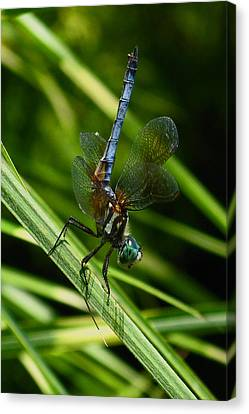 Canvas Print featuring the photograph A Dragonfly by Raymond Salani III