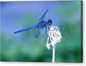 A Dragonfly V Canvas Print by Raymond Salani III