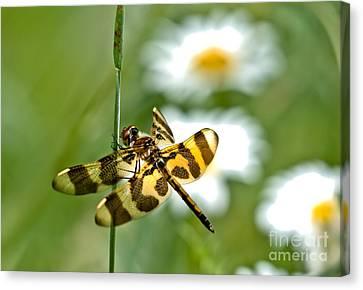 A Dragonfly's Life Canvas Print by Cheryl Baxter