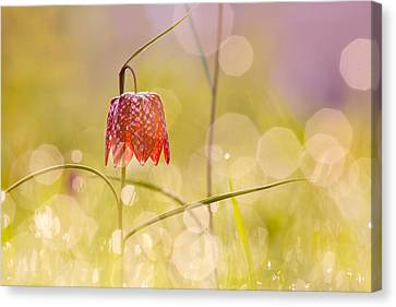 A Fairies' Place II _snake's Head Fritillary Canvas Print by Roeselien Raimond