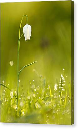 A Fairies' Place IIi _snake's Head Fritillary Canvas Print by Roeselien Raimond