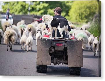 A Farmer Droving Sheep From A Quad Bike Canvas Print