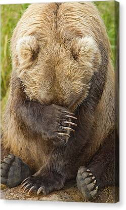 A Female Brown Bear Puts Her Paw Over Canvas Print