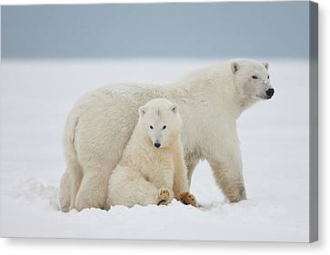 A Female Polar Bear And Her Two Cubs Canvas Print by Hugh Rose