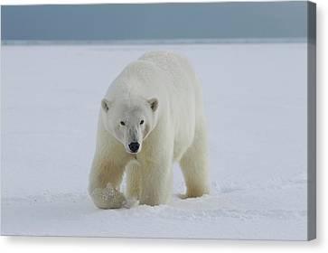 A Female Polar Bear Walks Canvas Print by Hugh Rose
