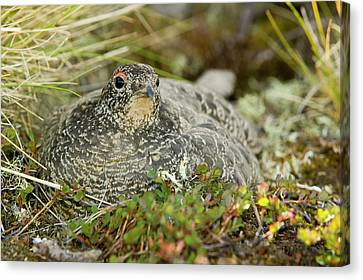 A Female Ptarmigan Sat On A Nest Canvas Print by Ashley Cooper