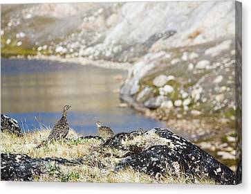 A Female Ptarmigan With Young Canvas Print by Ashley Cooper