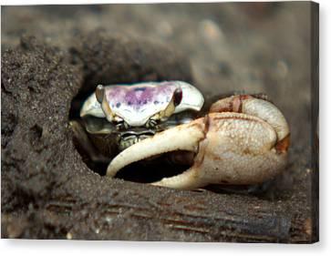 A Fiddler Crab Around Hilton Head Island Canvas Print by Kim Pate