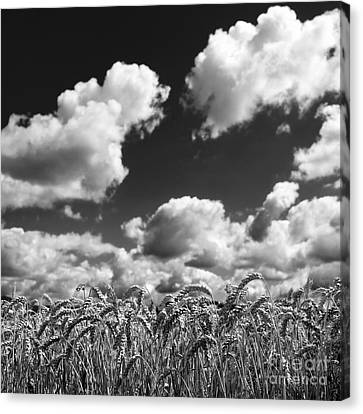A Field Of Wheat . Limagne. Auvergne. France Canvas Print by Bernard Jaubert