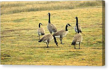 A Flock Of Canada Geese Canvas Print by Rima Biswas