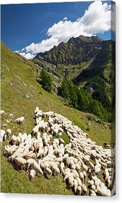 A Flock Of Sheep By The Refuge Bertone Canvas Print by Ashley Cooper