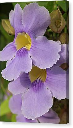 A Flower Blooms In Pedasi On Panama's Canvas Print by William Sutton