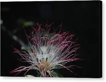 Borinquen Scene Canvas Print - A Fluffy Flower by Penelope  Griffin-Rosado