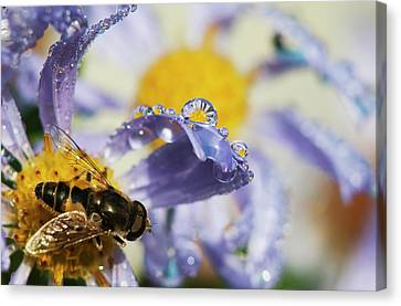 A Fly Rests On Aster Blossoms  Astoria Canvas Print by Robert L. Potts