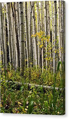 A Forest Of Aspen Canvas Print by Eric Rundle