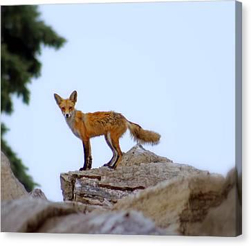 A Fox On The Rocks Canvas Print