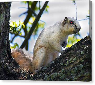 Fox Squirrel Canvas Print - A Fox Squirrel Pauses by Betsy Knapp