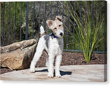 A Fox Terrier Puppy Standing On A Patio Canvas Print by Zandria Muench Beraldo