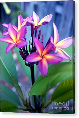 A  Frangipani Tree In Bloom Canvas Print by Steven Valkenberg