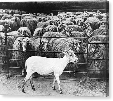A Freshly Sheared Sheep Canvas Print by Underwood Archives