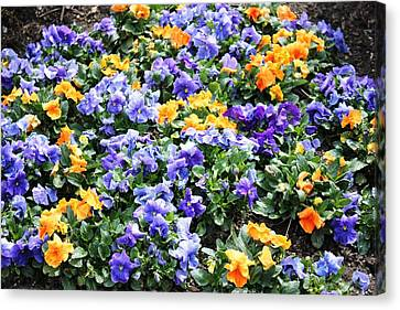 Canvas Print featuring the photograph A Garden Of Lovely Little Faces by Judy Palkimas