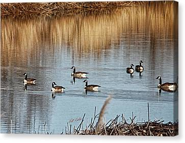 A Geese Gathering Canvas Print