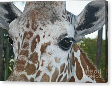 A Giraffe In Close Up Canvas Print by Joan McArthur