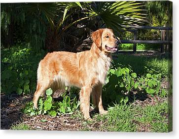 Courage Canvas Print - A Golden Retriever Standing In A Park by Zandria Muench Beraldo