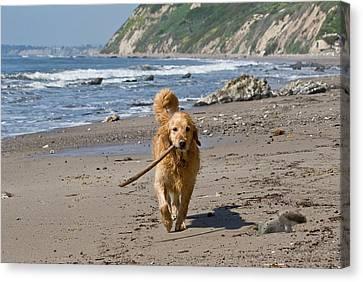 A Golden Retriever Walking With A Stick Canvas Print