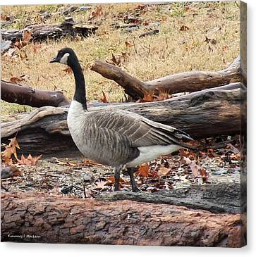 A Goose In Virginia Canvas Print