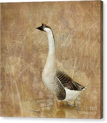 A Goose Is A Goose Canvas Print by Betty LaRue