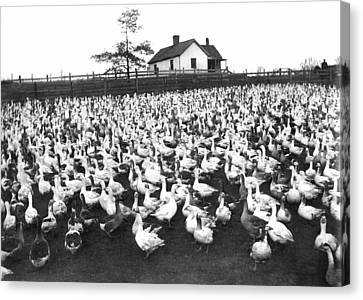 Flock Of Geese Canvas Print - A Goose Ranch by Underwood Archives