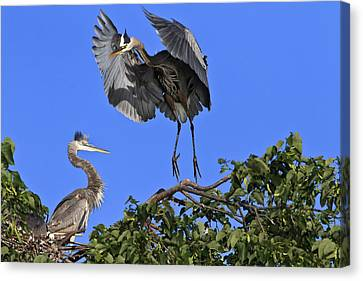 A Graceful Landing Canvas Print by Gary Hall