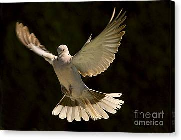A Graceful Landing Canvas Print by Sharon Talson