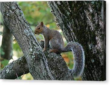 Squirrel Canvas Print - A Gray Squirrel Pose  by Neal Eslinger