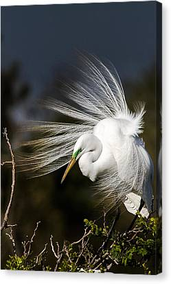 A Great Egret On A Windy Day Canvas Print by Ellie Teramoto
