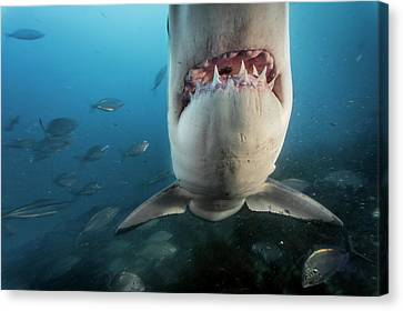 A Great White Shark Investigates Canvas Print